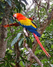 A scarlet macaw in Copan.