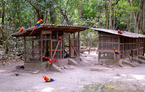 Scarlet macaws just inside the entrance of the ruins of Copan.