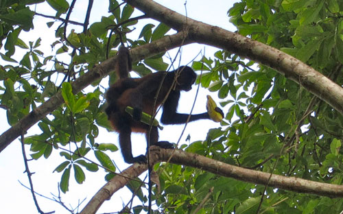 A monkey with bananas we saw on our hike to Sirena.