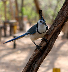 A magpie jay gives us the evil eye.