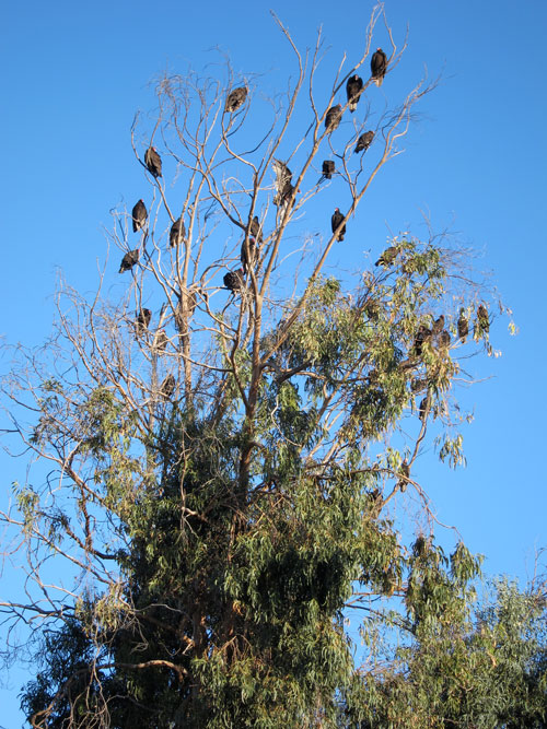 Buzzards in a tree next to our campsite in San Quintin.