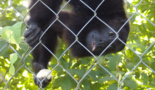 A howler monkey eating a banana.