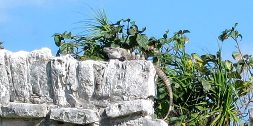 An iguana at the ruins in Tulum.